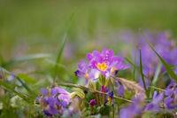 Пролетни цветя в лилаво; comments:6