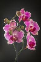 Орхидея; comments:6