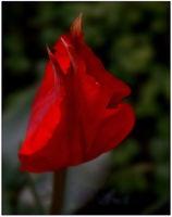 Пролет е, и това червено.........!); comments:2