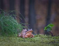 Горска дългокрака жаба (Rana dalmatina); comments:29