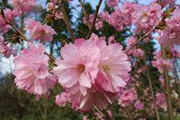 Розова пролет; comments:1