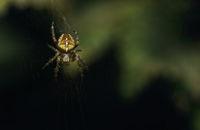 Паяк кръстоносец (Araneus diadematus); comments:11