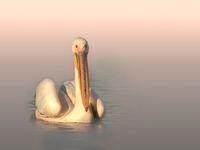 Розов пеликан; comments:10