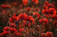 poppies; comments:12