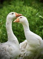 Две гъски; comments:5
