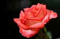 Роза номер две за сезона...; comments:5