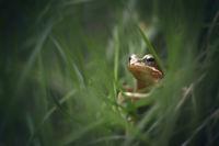 Горска дългокрака жаба (Rana dalmatina); comments:15