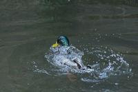 Зеленоглава патица; comments:1