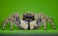 Jumpi spider; comments:5