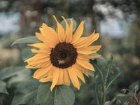 Sunflower Bee; comments:3