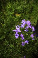 Алпийски цветя; comments:1