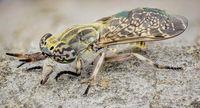 Конска муха; comments:3