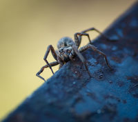 Wolf spider; comments:1