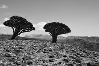 Endemic Dragon Blood trees - Socotra, Yemen; comments:4