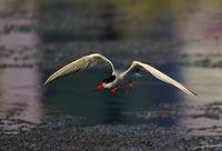 Речна рибарка.; comments:5