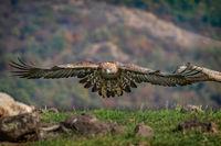 Скален орел по долината на р. Арда...; comments:18