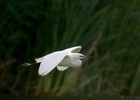 Малка бяла чапла.; comments:5