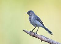 motacilla alba juvenile; comments:5