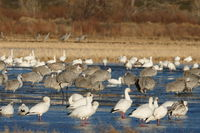 Snow geese and sandhill cranes; comments:4