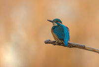 Alcedo atthis; comments:6