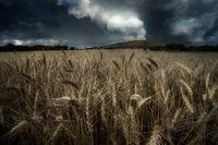 Буря сред житата; comments:7