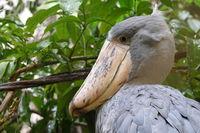 Shoebill stork; comments:7