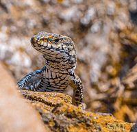 Lizard; comments:1