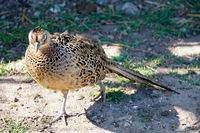 Женски фазан; No comments
