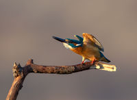 Alcedo atthis; comments:16