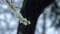 Пролетен сняг; Коментари:1