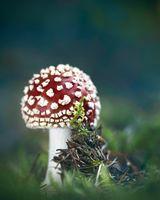 Червена мухоморка (amanita muscaria); comments:14