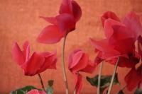 Природни цветове; No comments