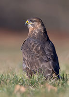 buteo buteo; comments:6