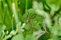 Конски комари (Tipulidae); Коментари:7