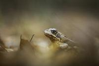 Горска дългокрака жаба (rana dalmatina); comments:9