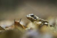 Горска дългокрака жаба (rana dalmatina); Коментари:5