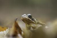 Горска дългокрака жаба (rana dalmatina); Коментари:8