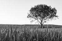 Пролетна пшеница; comments:1
