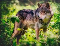 Wolf; Коментари:4