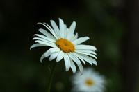 """МАРГАРИТКА Красива маргаритка бяла на полянка разцъфтяла, въздъхнала и се засмяла, и от цялата душа запяла: """"Колко е красив света –  с небе и птици, и цветя! И мойта нежна белота е част от тази красота…""""Божидара Ангелова; Коментари:4"""