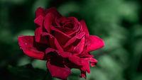 Червена роза; Коментари:4
