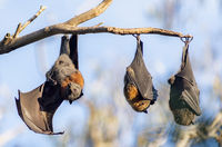 grey headed flying foxes /pteropus/; comments:7