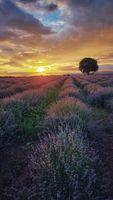 Lavender sunset/second part; comments:12