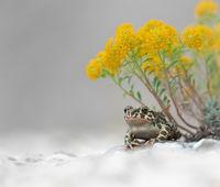 Зелена крастава жаба (Bufotes viridis); comments:19