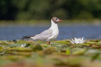 Речна чайка; comments:3