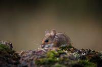 Полска мишка; comments:10
