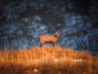 Дурмиторска коза; comments:2