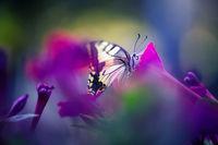 Голям полумесец (Papilio machaon); comments:5