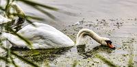 Swans; comments:2