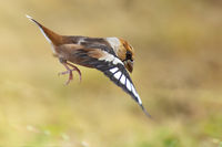 Черешарка/ Coccothraustes coccothraustes; comments:8
